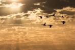 Kormorane fliegen durch das Abendlicht