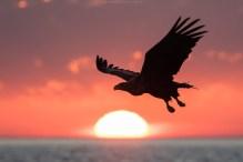 Seeadler vor der untergehenden Sonne