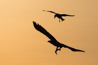 Eine Möwe will dem Adler die Beute streitig machen