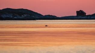 Schweinswale im Abendrot