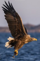 Seeadler, Norwegen