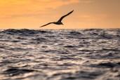 Albatros im Morgenlicht