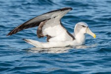 White-capped Albatross (Thalassarche steadi)