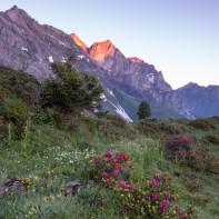 Noch mehr Alpenrosen