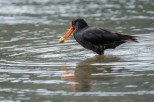 Oystercatcher catches a oyster...