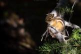 Streifenhörnchen, Kanada