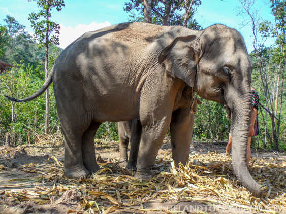 Young mother elephant at Elephant Jungle Sanctuary