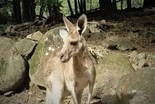 Canguro, animales australianos