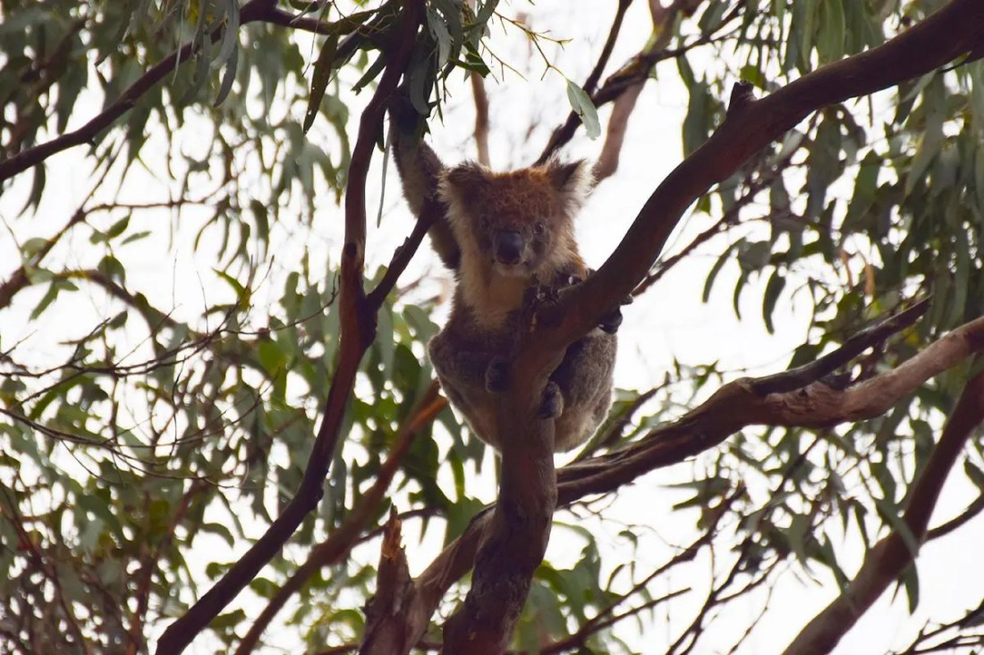 Koala Kennett River Victoria Australia
