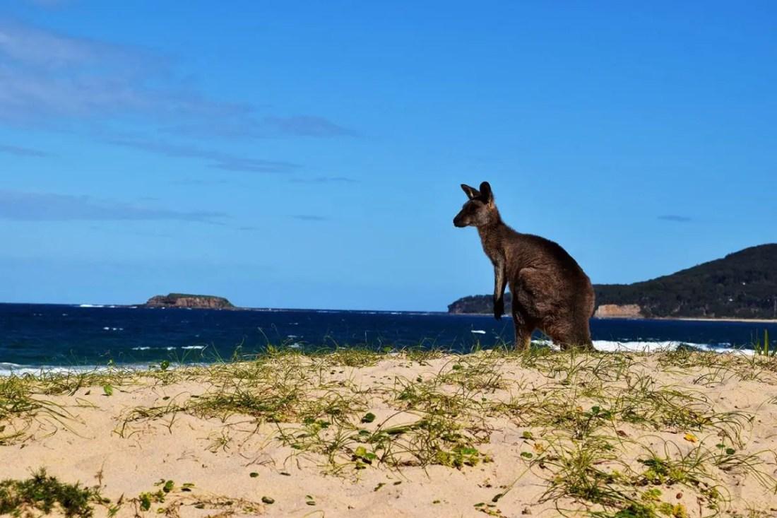 Canguro en Pebbly Beach, Ruta de Sydney a Melbourne, NSW-Australia