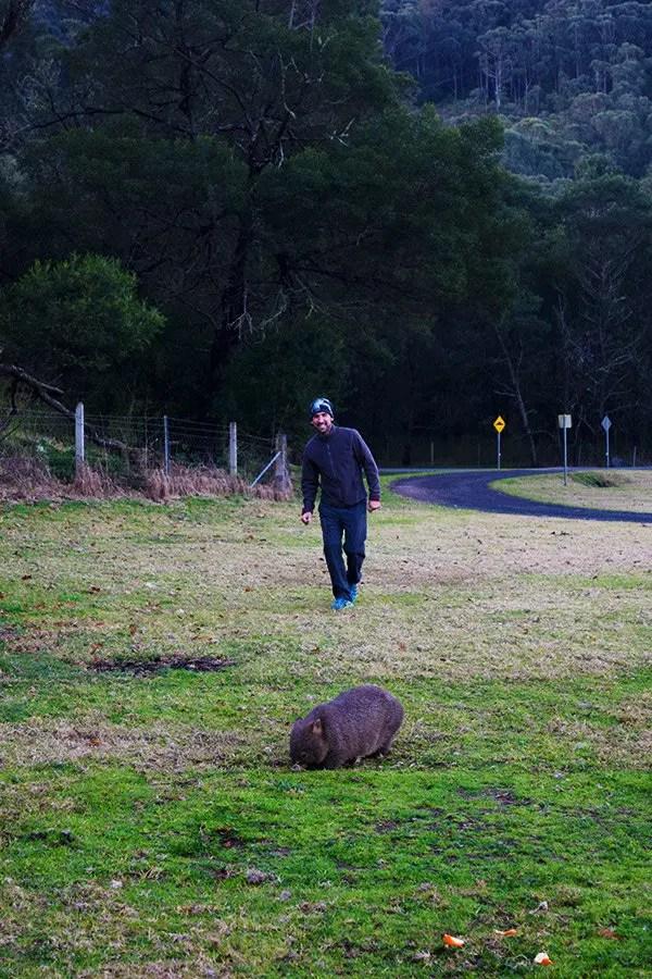 Wombat en Kangaroo Valley, Ruta de Sydney a Melbourne, NSW Australia