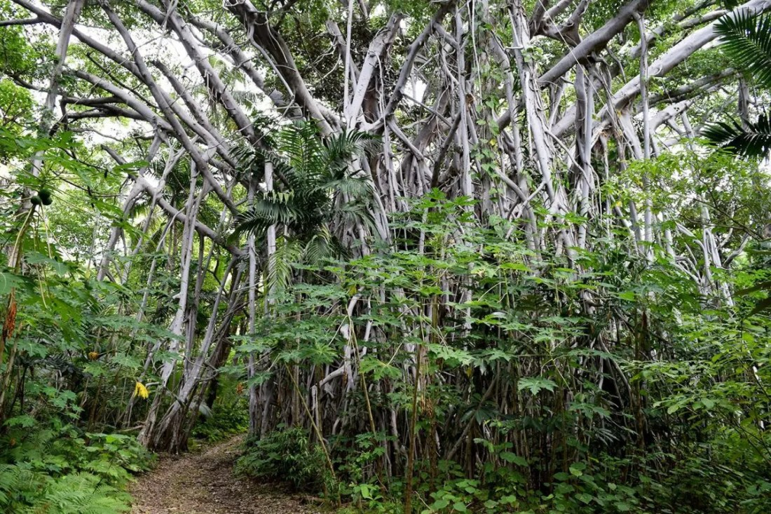 Banyan Tree Tanna Vanuatu