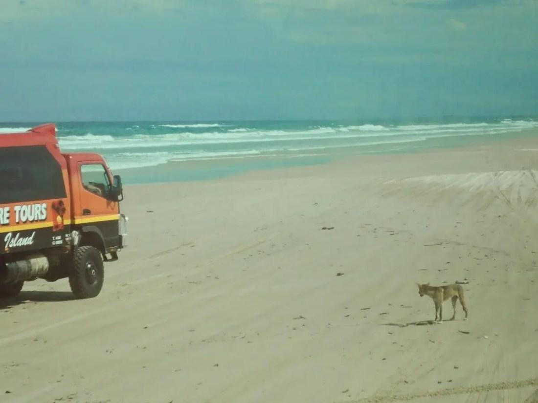 Dingo en Fraser Island, Australia