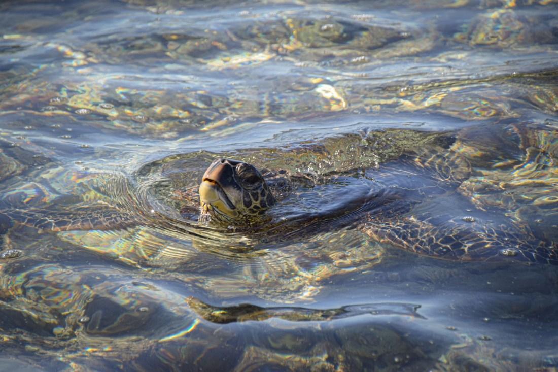 tortugas marinas hawaii big island