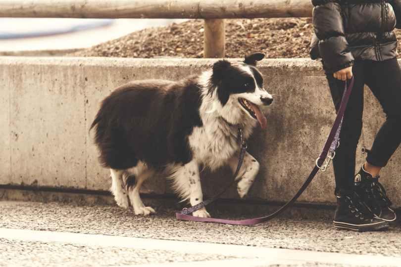 Hund mit verstellbarer Führleine. Alternative zu Flexi-Leine.