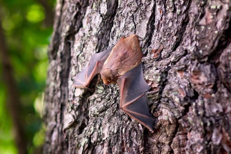 Manche Fledermäuse können sich gut an Wänden, Boden und anderen Oberflächen fortbewegen.