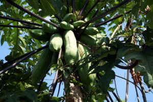 Lombok-Bergdorf-Papaya