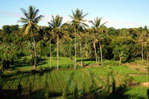 Lombok-Reisfeld