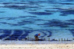 Lombok-Sueden-Seetangernte