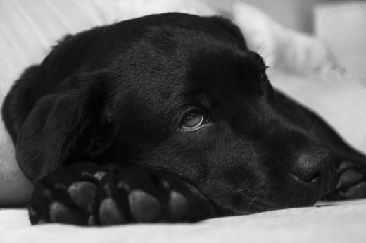 Blutvergiftung beim Hund lebensgefaehrlich