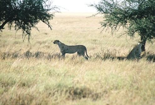 Der Gepard das weltweite schnellste Landtier