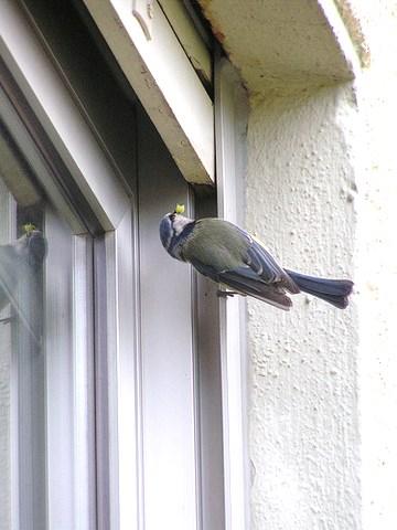 Die Blaumeise hat ihr Nest über dem Oberfenster gebaut und füttert die Jungen