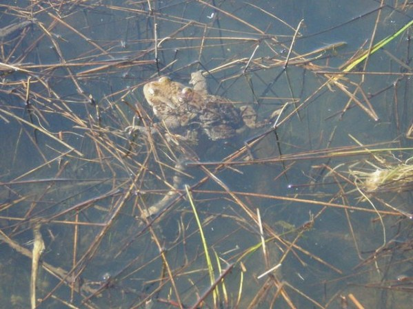 Erdkröten beim Laichen im nahen Uferbereich