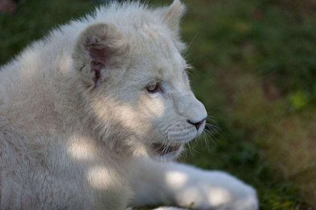 Weißer Löwe (Jungtier) eine Besonderheit