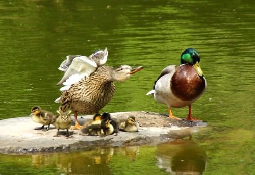 Eine komplette Stockenten Familie