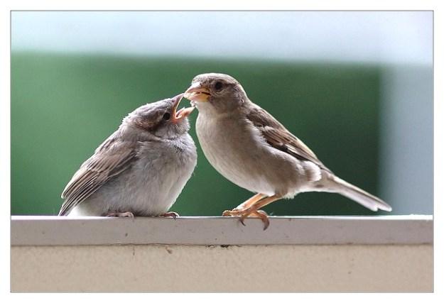 Haussperling-Weibchen füttert den gerade flügge gewordenen Jungvogel