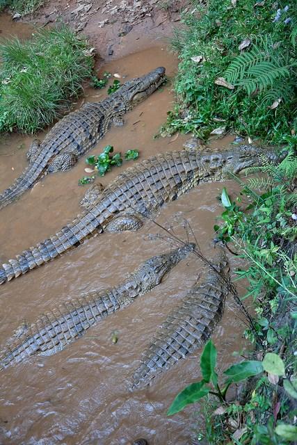Das Nilkrokodil ist für Menschen eine Gefahr