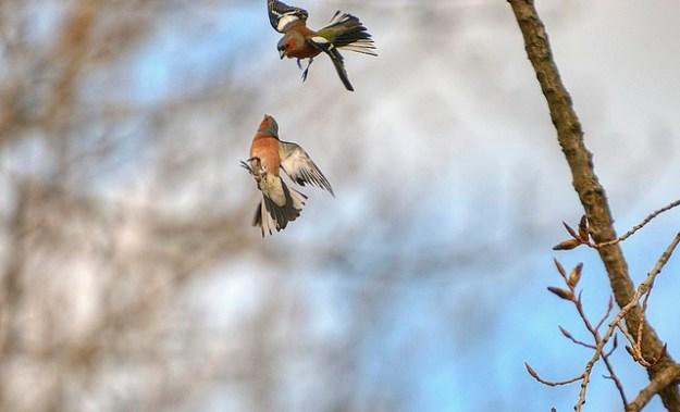 Der Buchfink kommt in Deutschland häufig vor und ist Sommer- wie Wintervogel.
