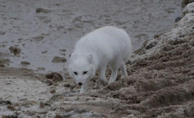 Der Polarfuchs folgt oft den Eisbär und ernährt von den liegengebliebenen Robbenresten.