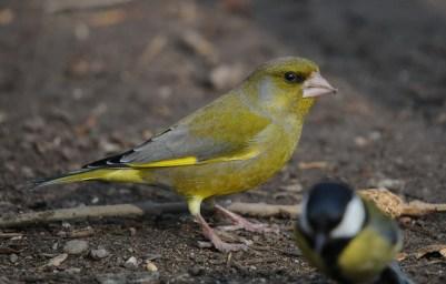 Günfink-Männchen in Gesellschaft mit einer Kohlmeise.