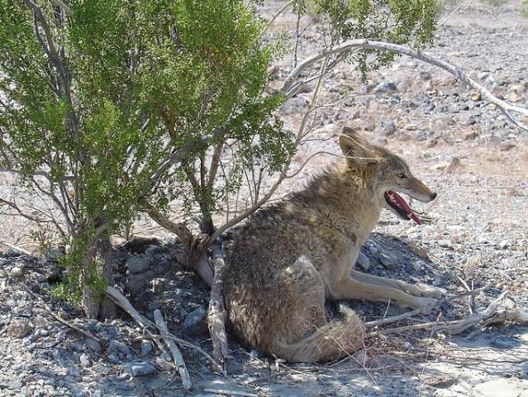 """Wenn Kojoten sich mit Haus- oder Wildhunden paaren, nennt man die Kreuzung """"Coydogs""""."""