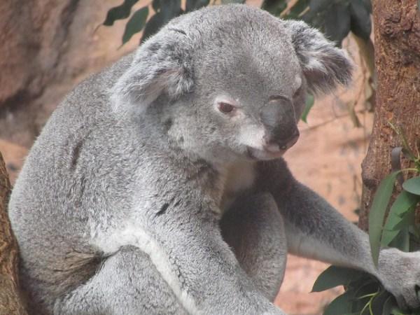 Der Koalabär lebt auf Eukalyptusbäumen.