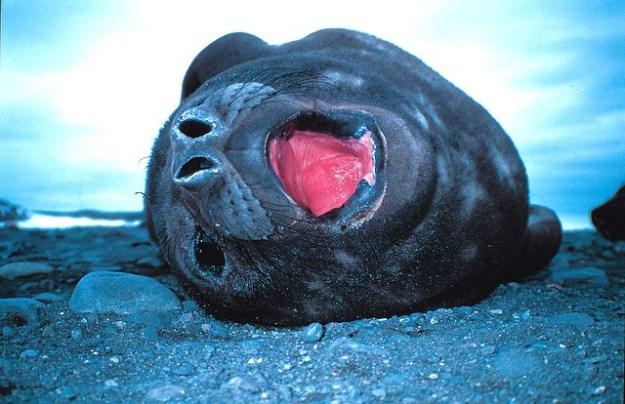 Der See-Elefant gehört zur Gattung der Hundsrobben.