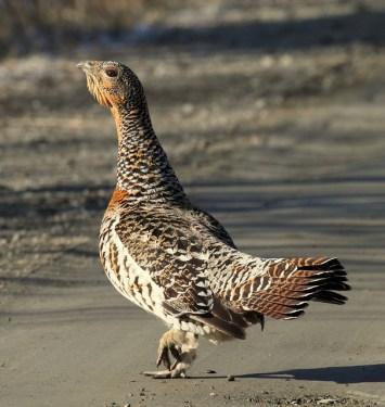 Das Auerhuhn ist ein Standvogel der großen, lichten Waldgebiete Europas und Nordasiens.