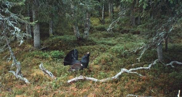 Das Auerhuhn liebt Mischwälder mit ausreichenden Bodenbewuchs zum Verstecken und für das Brutgeschäft.