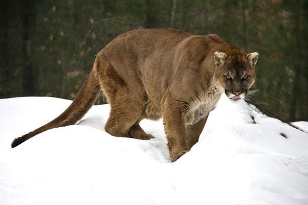 Der Puma ist auch unter den Namen Silberlöwe und Berglöwe bekannt.