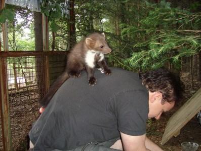 Ein zahmer Jung-Steinmarder auf dem Rücken seines Pflegers.