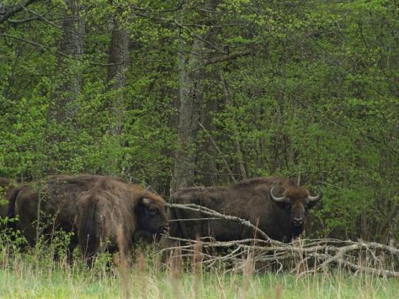 Wildlebende Wisente in Polen.
