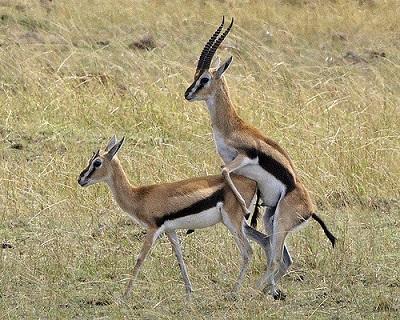 Die Männchen der Thomsongazellen sind territorial und beanspruchen jedes Weibchen, das ihr Revier betritt.