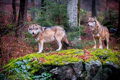 Weibliche Wölfe werden nur einmal im Jahr fruchtbar.