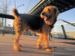 Der Airedale Terrier und der Foxterrier sind die bekanntesten Terrier in Deutschland.