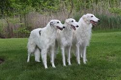 Der Basoi ein Windhund, der ein enormes Tempo vorlegen kann.