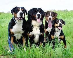 Der Berner Sennenhund ist kräftig und weniger für den Hundesport geeignet.