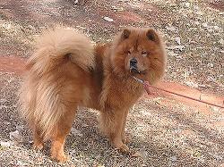 Der Chow-Chow stammt aus China und kam im 18. Jahrhundert nach Europa.