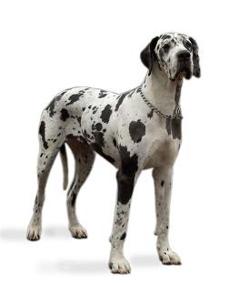 Kraftvolle schwarz-weiß gefleckte Deutsche Dogge.