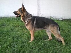 Der Deutsche Schäferhund ist ein vielseitiger Gebrauchshund.